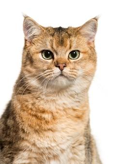 영국 쇼트 헤어 고양이 절연을 닫습니다.