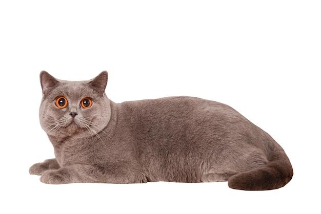 Британская короткошерстная кошка, изолированные на белом фоне