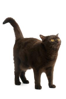 British shorthair cat isolated on white background.