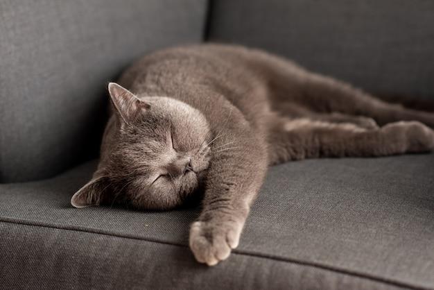 白いテーブルの上に横たわるブリティッシュショートヘアの猫。コピースペース