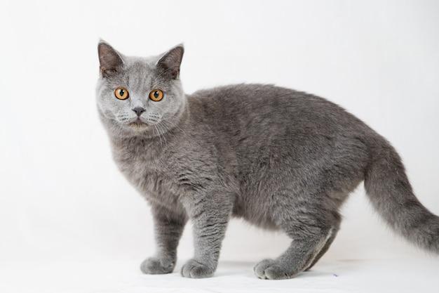 白のブリティッシュショートヘアの猫