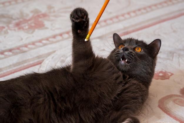 オレンジ色の鉛筆で遊ぶブリティッシュショートヘアの猫