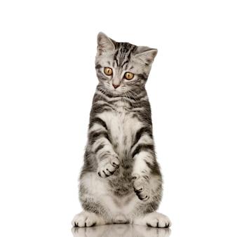 ブリティッシュショートヘア。分離された猫の肖像画