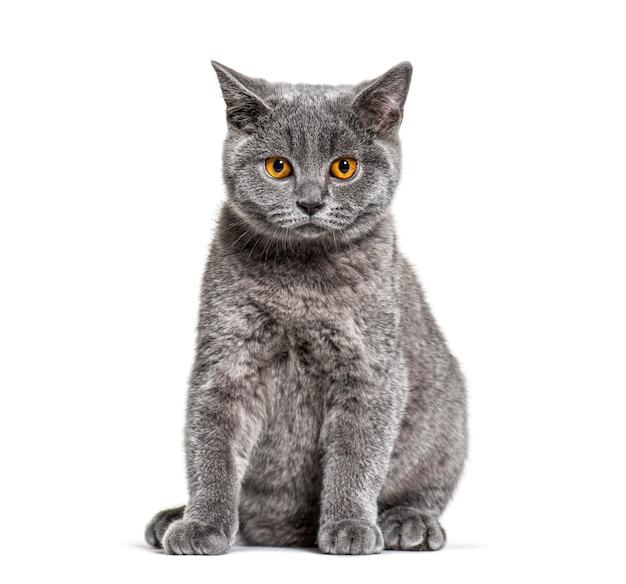 영국 쇼트 헤어 고양이는 흰색에 앉아