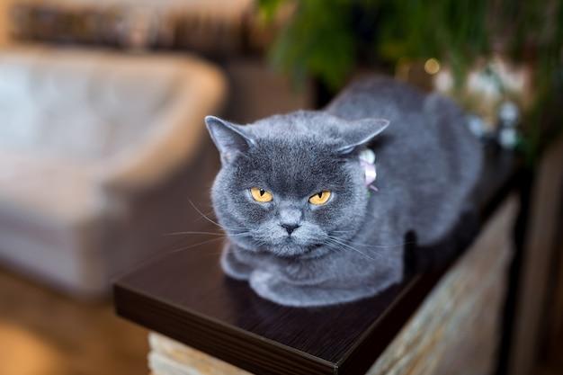 Британская короткошерстная кошка, сидящая на деревянной платформе