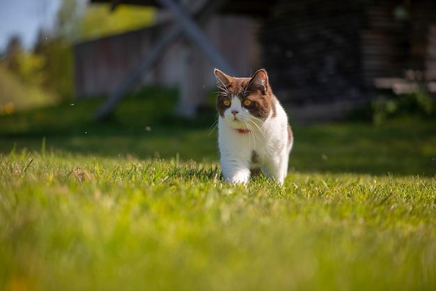 Британская короткошерстная кошка на прогулке на свежем воздухе