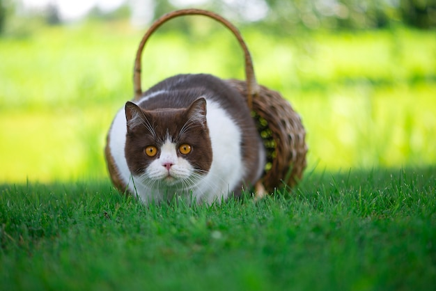 British shorthair cat in a wicker basket