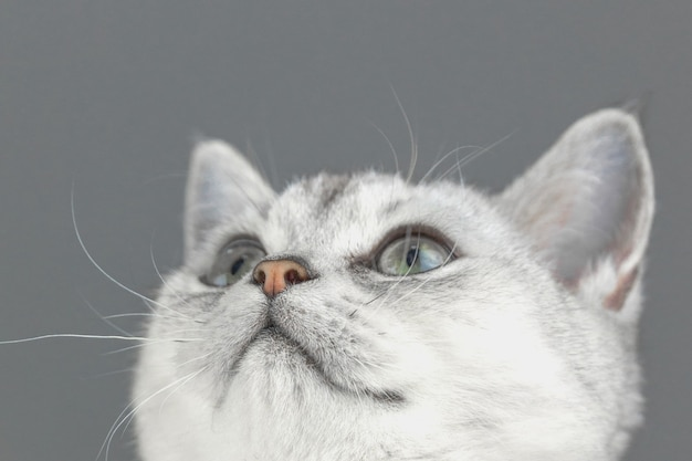 브리티시 쇼트헤어 고양이