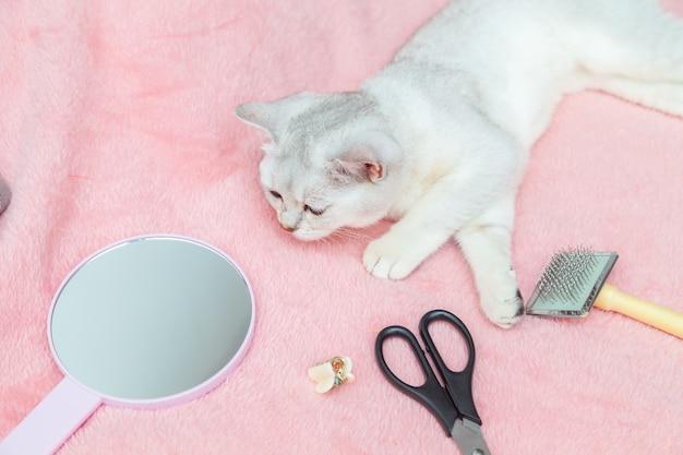 猫の毛を手入れするためのブリティッシュショートヘアのチンチラとアクセサリー。ピンクの背景、動物の美しさの概念。