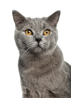 British shorthair in front of a white wall