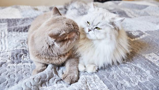영국 쇼트 헤어 회색 고양이와 흰색 영국 상아탑에 틀어 박힌 고양이 달콤한 커플.