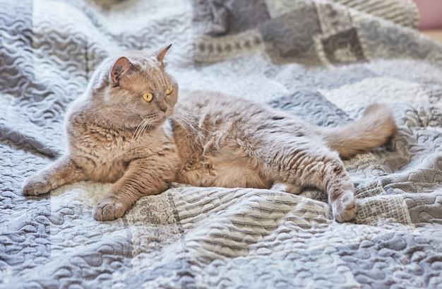 Британский короткошерстный серый кот сидит дома на кровати.
