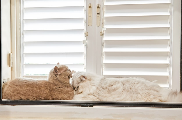 British shorthair gray cat and white british longhair cat are sitting on the window.
