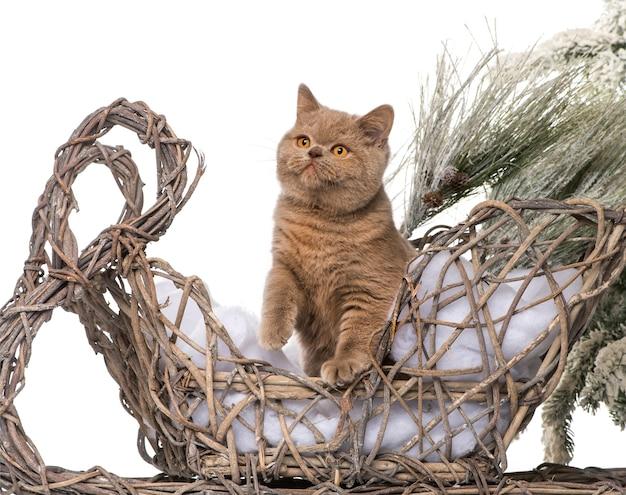 Британская короткошерстная кошка на фоне рождественского пейзажа