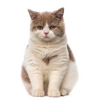 Британская короткошерстная кошка перед белой стеной
