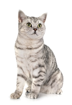 British shorthair isolated
