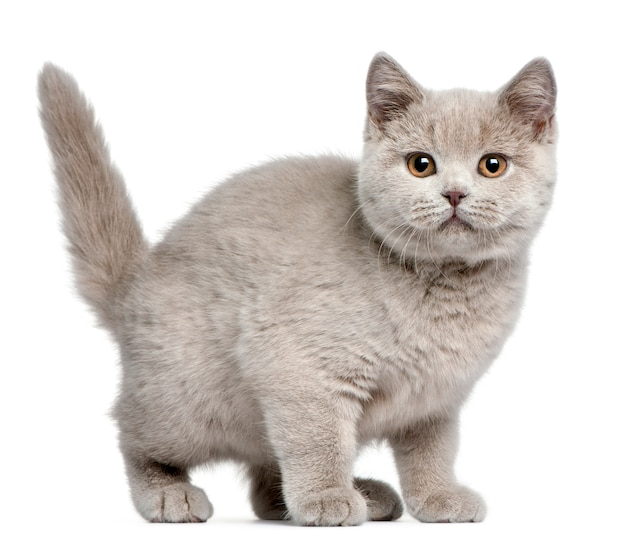 ブリティッシュショートヘア子猫、3ヶ月、