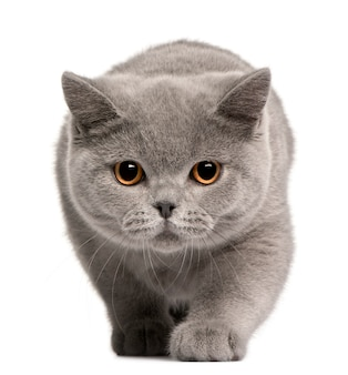 British shorthair kitten, 4 months old,