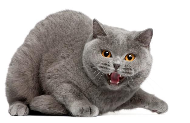 ブリティッシュショートヘアの子猫のシューという音、2歳、