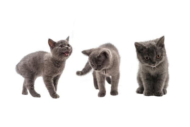 白い背景で隔離の見上げるブリティッシュショートヘアの子猫。