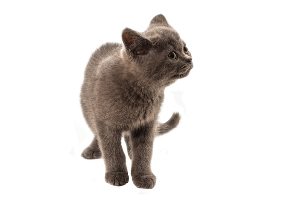 British shorthair kitten looking up isolated on white background