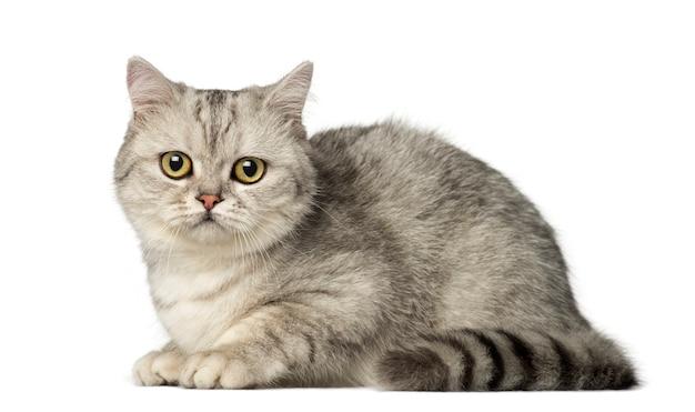 ブリティッシュショートヘアの子猫が横になっていると、カメラを見て
