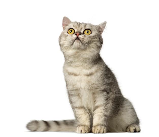 ブリティッシュショートヘアの子猫に座って見上げる