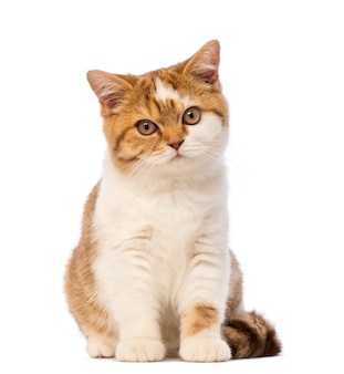 British shorthair kitten, sitting and looking