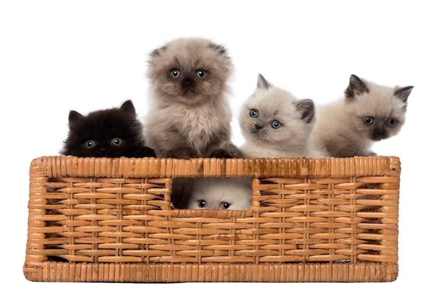 British shorthair kittens in a basket