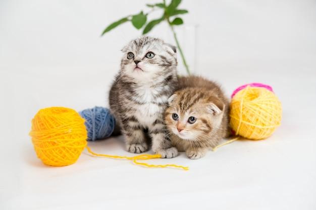브리티시 쇼트 헤어 새끼 고양이. 애완 동물 초상화