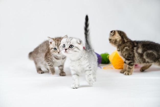 브리티시 쇼트 헤어 고양이