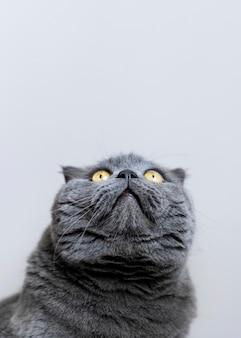 Британский короткошерстный котенок с монохромной стеной позади нее