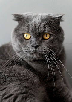 British shorthair kitty with monochrome wall behind her
