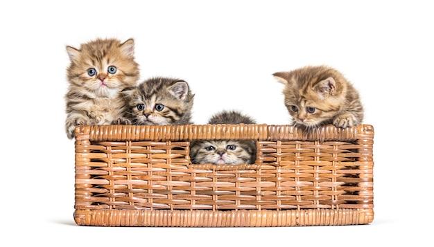 British shorthair and longhair in a wicker basket