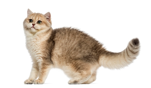 Британская короткошерстная кошка выглядит настороженной