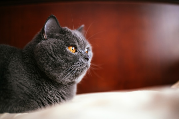 British shorthair purebreed cat on bed
