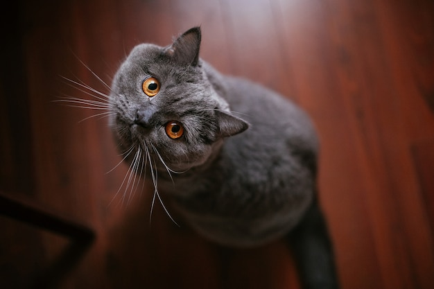 British shorthair purebreed cat looking at camera