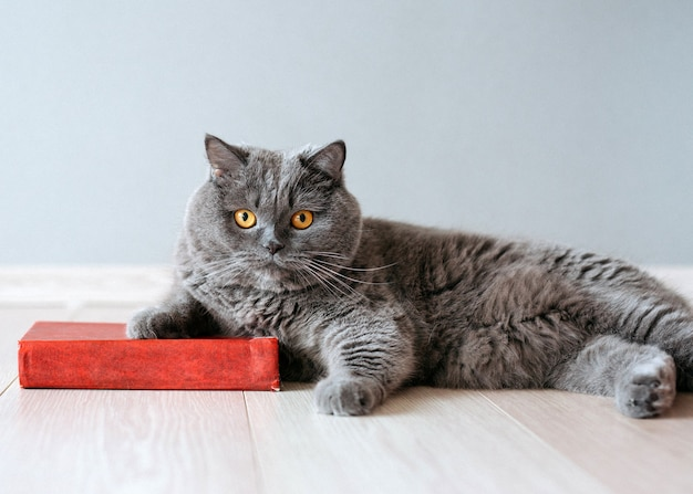 British shorthair purebreed cat lying on floor next to a red book