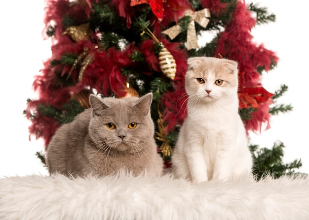 British shorthair and a scottish fold kitten sitting and lying down in front of a christmas tree