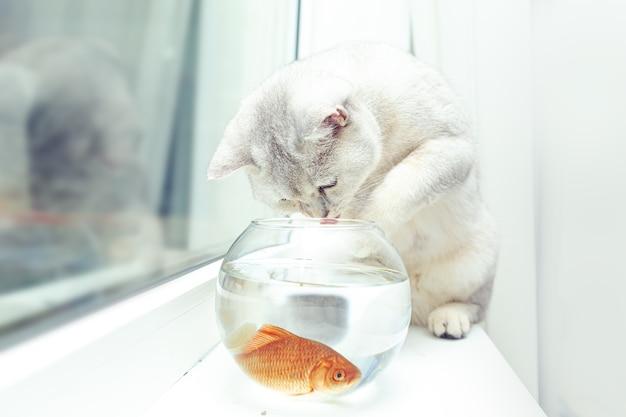 Британская короткошерстная серебряная кошка наблюдает за золотой рыбкой в аквариуме.