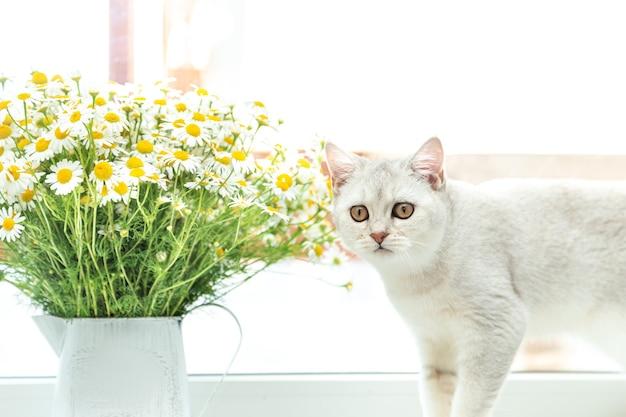 Британский короткошерстный серебристый кот с букетом ромашек. концепция лета и отдыха.