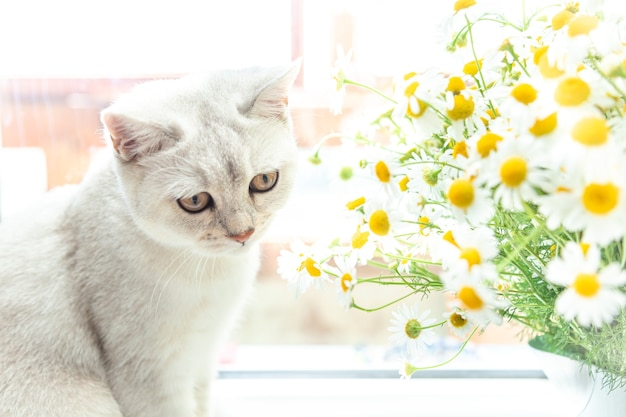 British shorthair silver cat with a bouquet of chamomile. summer and holiday concept.