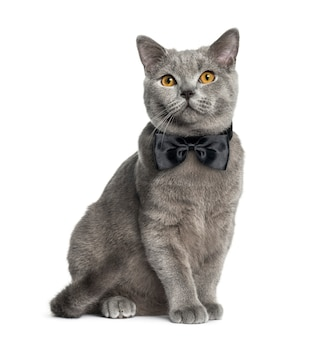 British shorthair sitting in front of a white wall