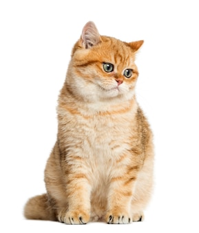 British shorthair sitting and looking down