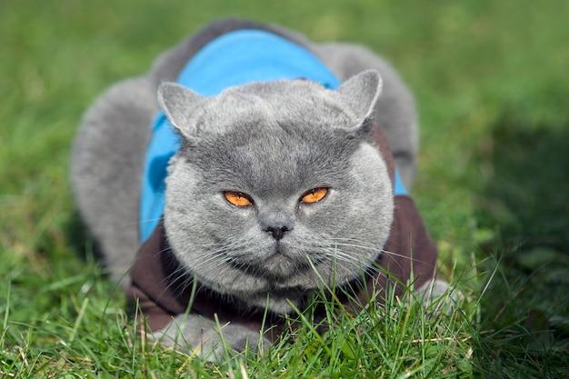 Британская короткошерстная кошка с синим джемпером, лежа на траве