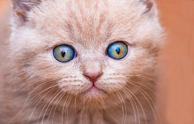 青い目をしたイギリスのぶち子猫