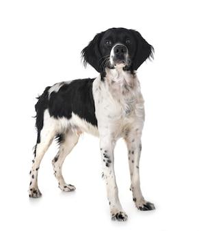 Brittany dog in studio Premium Photo