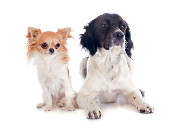Brittany spaniel and chihuahua