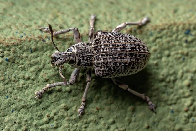 Широконосый долгоносик вида cydianerus latruncularius на зеленой стене