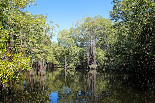 Broad river close to black river in jamaica, exotic landscape in mangroves